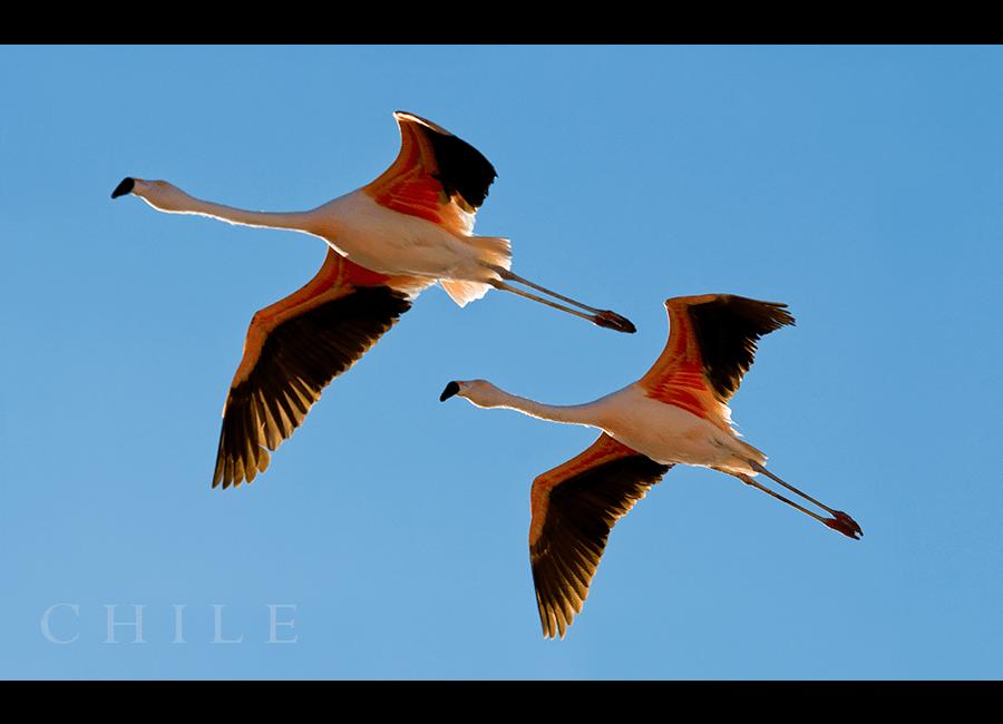 flamingos05
