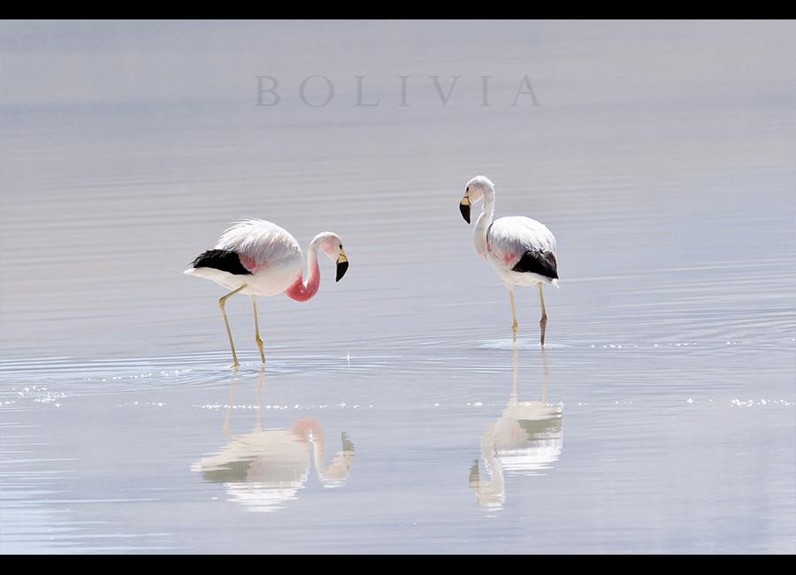 flamingos11