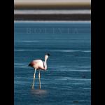 flamingos12