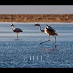 flamingos13