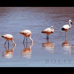 flamingos16